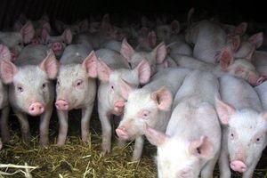 Ринок продукції свинарства