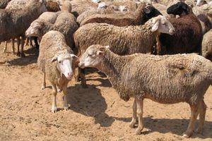 Ринок продукції вівчарства